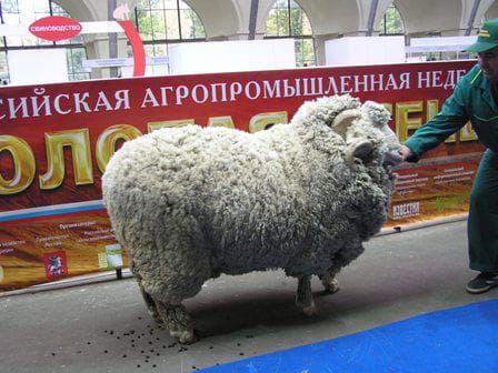 меринос Новокавказский
