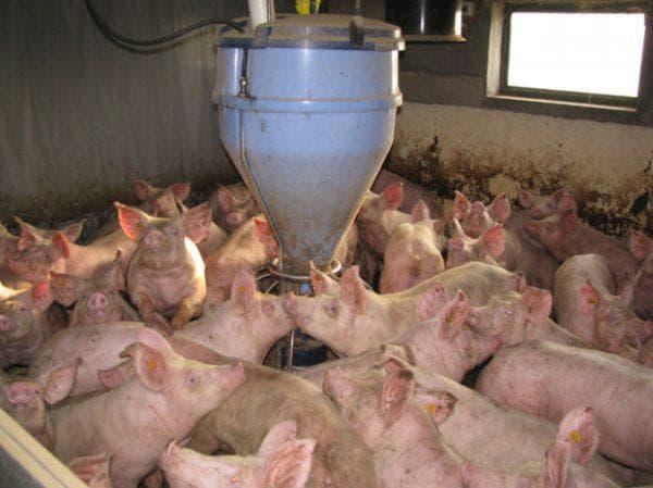 откорм свиней на бекон