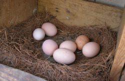 яйцо куры в гнезде