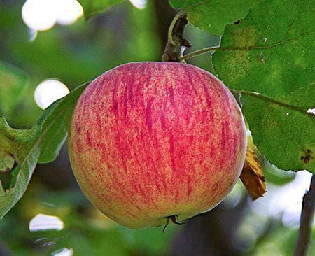 яблоко Осеннее полосатое