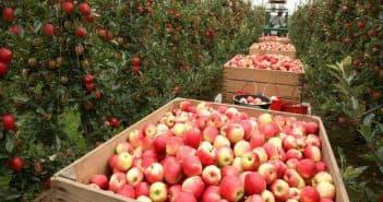 разные яблоки в саду