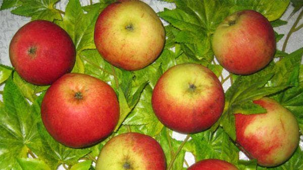 яблоко Подмосковная