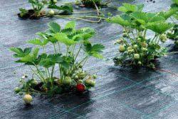 сорняки на клубники