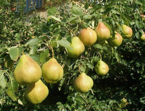 Груша Осенняя сладкая: характеристика и описание сорта, выращивание и уход, фото