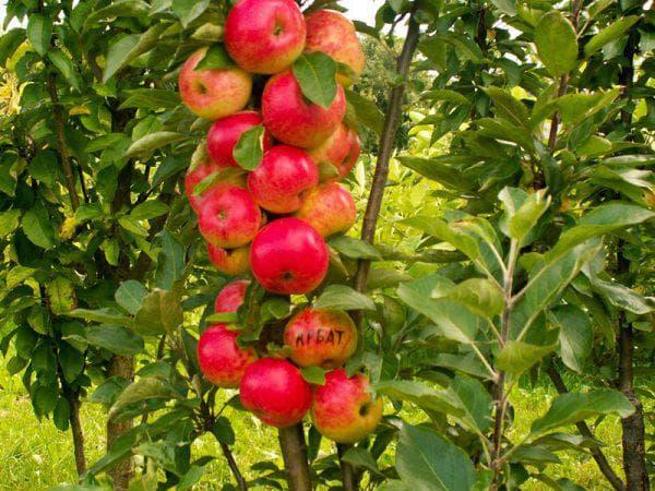 яблоко Арбат