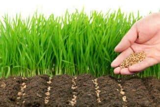 озимая пшеница как сидерат