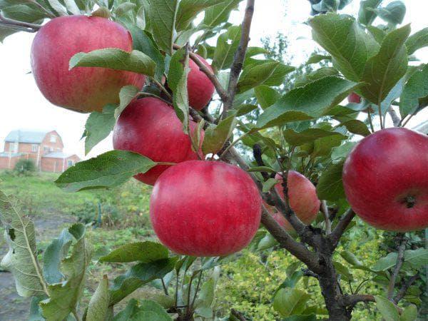 яблоко Васюган