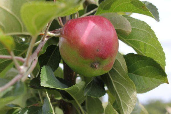 яблоко Кубань-спур