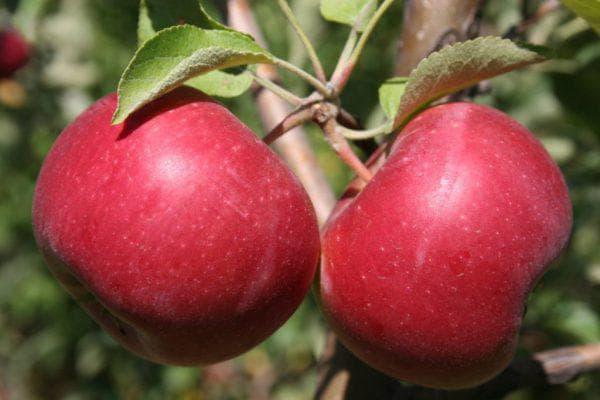 яблоко Джонатан