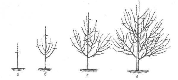 формовка кроны груши