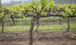 зимовка винограда каберне совиньон
