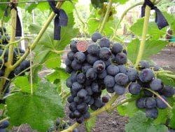 саженцы винограда рошфор