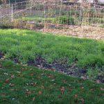 сидераты для клубники весной