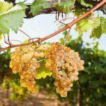 как вырастить виноград из чубука