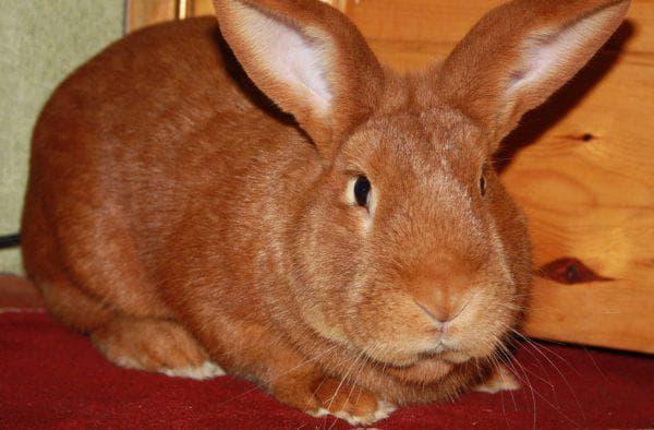 кролики бургундской