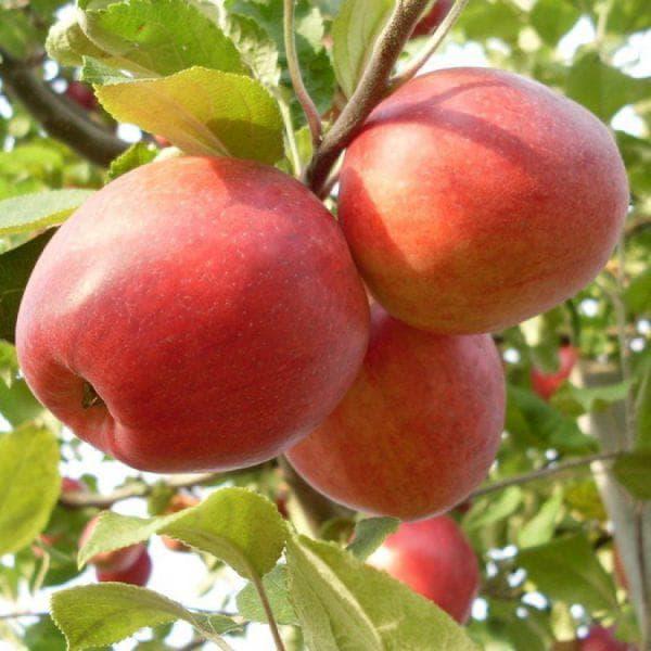 яблоко Пепин Шафранный
