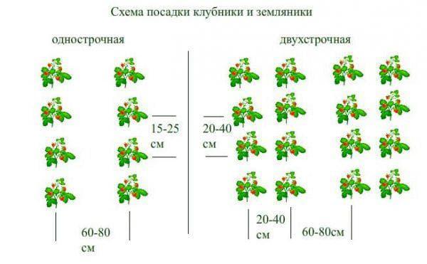 схема посадка клубники