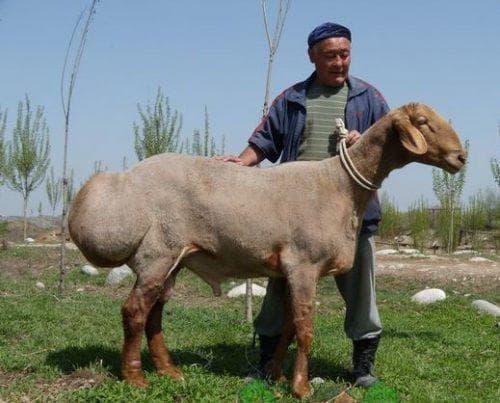 Гиссарская порода овец - Общая информация