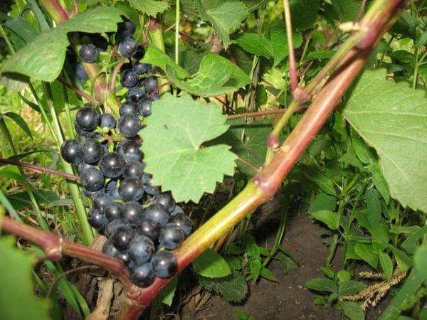 виноград Илличевский ранний
