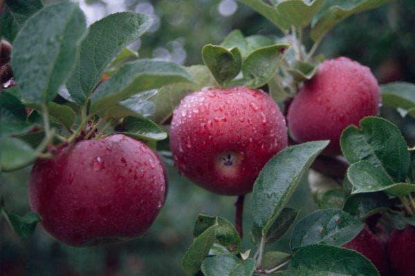 яблоко Макинтош
