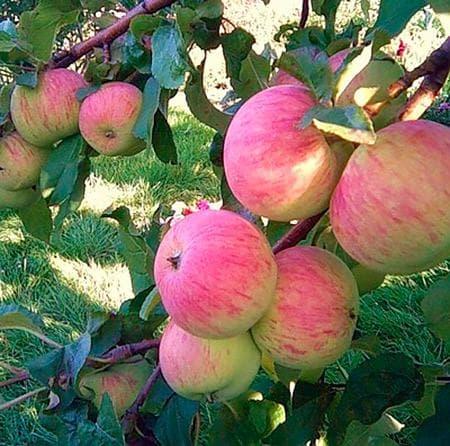 яблоко Спартак