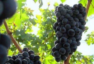 виноград каберне совиньон описание