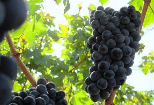 Виноград Каберне: описание и характеристики сорта, разновидности, посадка и уход