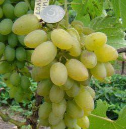 размер винограда