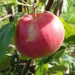 Чем примечательна яблоня Мельба: описание сорта