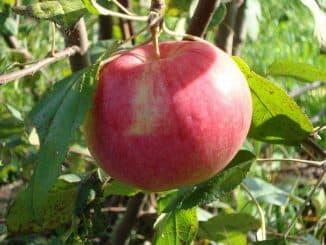 сорт яблони мельба фото