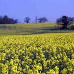 какие сидераты можно сеять весной