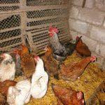 сколько яиц несет курица в год