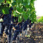 характеристика винограда Аркадия
