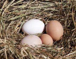 яйко курицы в курятнике