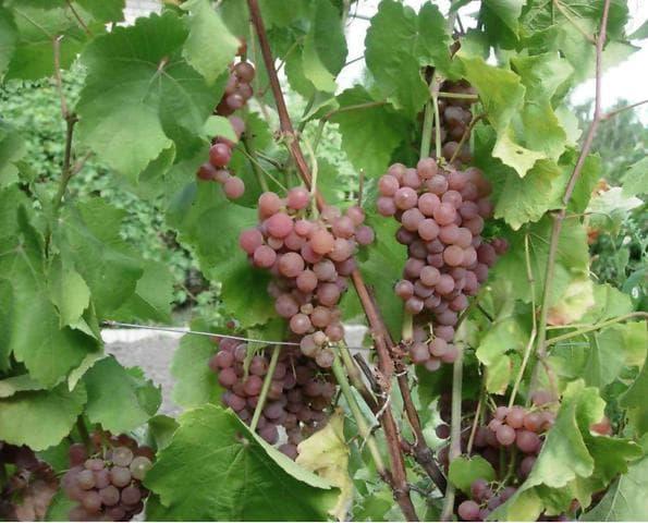 виноград сорт платовский
