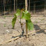 характеристики винограда Кишмиш лучистый.