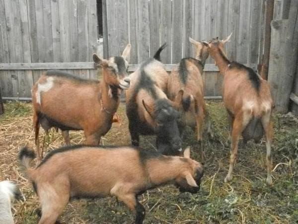 беременные чешские козы