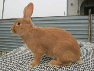 фото бургундских кроликов