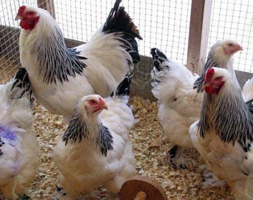 Сколько корма нужно курице несушке в день: суточный рацион и расчет нормы