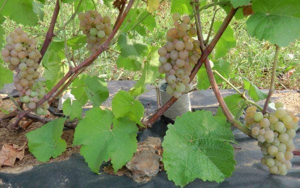 грозди винограда сорта платовский