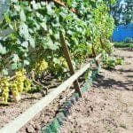 описание виноград Велес