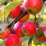 зимняя яблоня Медуница