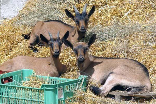 содержание чешских коз