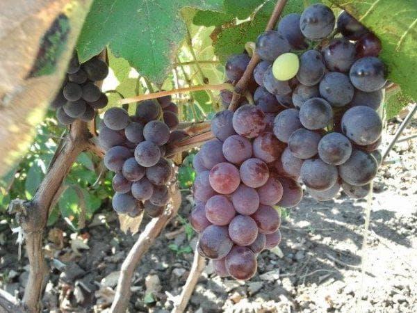 виноград Лилия
