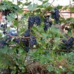 проращивание чубуков винограда зимой