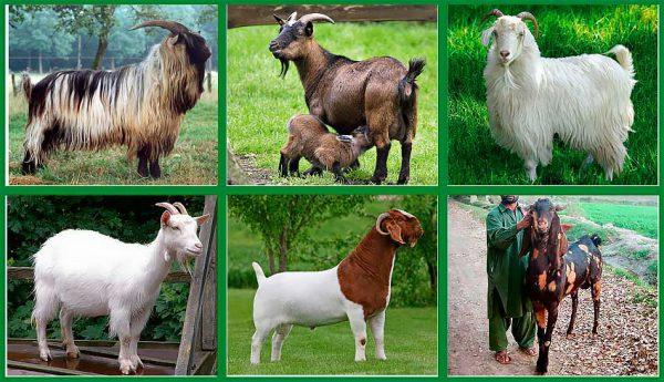 Как выбрать молочную козу и козленка при покупке - какую породу взять для молока и мяса без запаха - самые продуктивные дойные виды