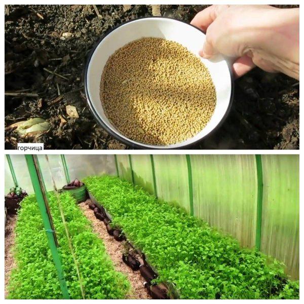 Картофель лучшие сидераты для посадки весной какой сидерат посадить после