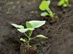 как правильно посадить баклажаны в открытый грунт