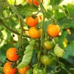 выращивание ранних помидоров в открытом грунте