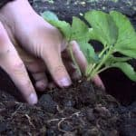 чем удобрять клубнику весной для увеличения урожая